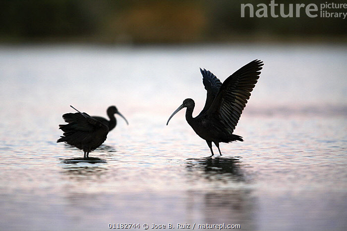 Silhouettes of Glossy ibis {Plegadis falcinellus} with wings outstretched standing in water, Donana NP, Spain  ,  BIRDS,EUROPE,IBISES,SILHOUETTES,SPAIN,VERTEBRATES,WATER  ,  Jose B. Ruiz