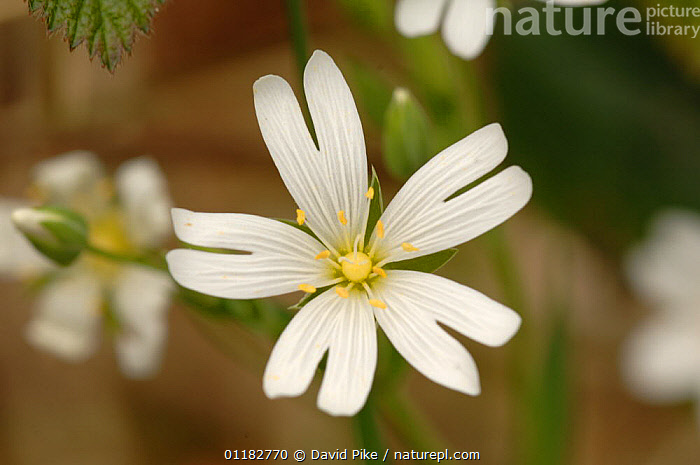 Field Mouse-ear {Cerastium arvense} Bedford Purlieus, Cambridgeshire, UK  ,  CARYOPHYLLACEAE,DICOTYLEDONS,EUROPE,FLOWERS,PETAL,PETALS,PLANTS,UK,WILD,United Kingdom,British  ,  David Pike