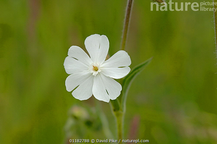 White campion {Silene alba} Barnack Hills and Holes, Cambridgeshire, UK  ,  CARYOPHYLLACEAE,DICOTYLEDONS,EUROPE,FLOWERS,PLANTS,UK,United Kingdom,British  ,  David Pike