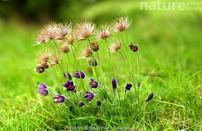 Pasque Flowers and seed heads {Pulsatilla Vulgaris} Barnack Hills and Holes, Cambridgeshire, UK  ,  Anemone, DICOTYLEDONS, EUROPE, FLOWERS, GRASSLAND, PLANTS, RANUNCULACEAE, UK, Wild,United Kingdom  ,  David Pike
