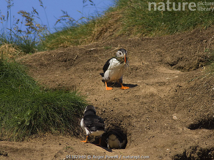 Puffin {Fratercula arctica} bringing nesting material to burrow, whilst two others prospect potential nest, Caithness, Scotland, UK  ,  AUKS,BEHAVIOUR,BIRDS,BURROWS,COLONY,EUROPE,NESTS,SEABIRDS,UK,VERTEBRATES,United Kingdom,British, Seabirds  ,  Roger Powell