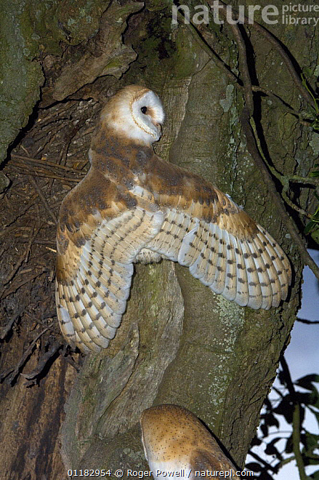 Juvenile Barn owl {Tyto alba} with wings outstretched whilst climbing out of nest chamber, in tree, Northumberland, UK  ,  BIRDS,BIRDS OF PREY,CLIMBING,EUROPE,OWLS,TREES,TRUNKS,UK,VERTEBRATES,VERTICAL,United Kingdom,Plants,British,Raptor  ,  Roger Powell