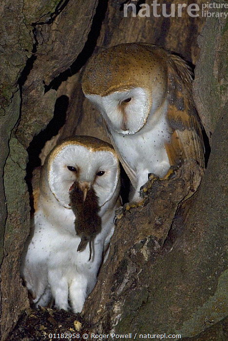 Young Barn owl {Tyto alba} eating Field Vole watched by its sibling, Northumberland, UK  ,  BIRDS,BIRDS OF PREY,EUROPE,FEEDING,FOOD,JUVENILES,NESTS,OWLS,TREES,TRUNKS,UK,VERTEBRATES,VERTICAL,United Kingdom,Plants,British,Raptor  ,  Roger Powell