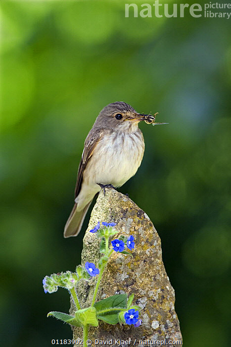 Spotted Flycatcher (Muscicapa striata) with insects in bill, on post with blue Alkanet flowers, Somerset, England  ,  BIRDS,CUTOUT,ENGLAND,EUROPE,FEEDING,FLYCATCHERS,PORTRAITS,UK,VERTEBRATES,VERTICAL,United Kingdom,British  ,  David Kjaer