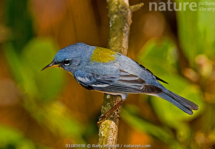 Northern Parula (Parula americana) male on branch, from above. North Florida, USA  ,  USA, VERTEBRATES, WARBLERS, BIRDS, PORTRAITS,North America  ,  Barry Mansell