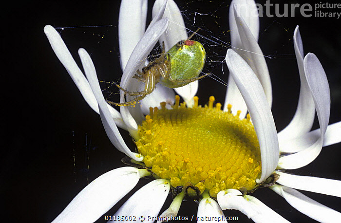 Green orb weaver spider (Araniella cucurbitina) female in her tiny web built in a Moon daisy flower, UK  ,  ARACHNIDS,ARTHROPODS,EUROPE,FEMALES,FLOWERS,INVERTEBRATES,ORB WEAVER SPIDERS,SPIDERS,UK,WEBS,United Kingdom,British, United Kingdom  ,  Premaphotos