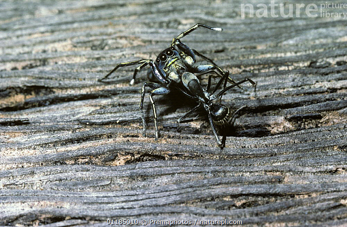 Jumping spider (Cosmophasis sp) feeding on an ant which it mimics, Kenya  ,  ANTS,ARACHNIDA,ARACHNIDS,BEHAVIOUR,EAST AFRICA,HYMENOPTERA,INSECTS,INVERTEBRATES,JUMPING SPIDERS,KENYA,MIMICRY,PREDATION,Africa  ,  Premaphotos