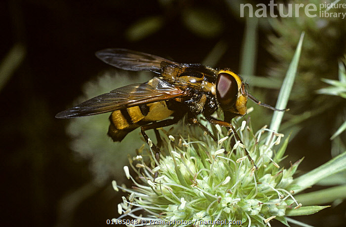 Lesser hornet plume-horn hover fly (Volucella inanis) feeding from {Eryngium campestre} flower, France  ,  DIPTERA,EUROPE,FEEDING,FLOWERS,FRANCE,HOVER FLIES,INSECTS,INVERTEBRATES,PORTRAITS,SYRPHIDAE,Hymenoptera , hoverflies , hoverfly  ,  Premaphotos