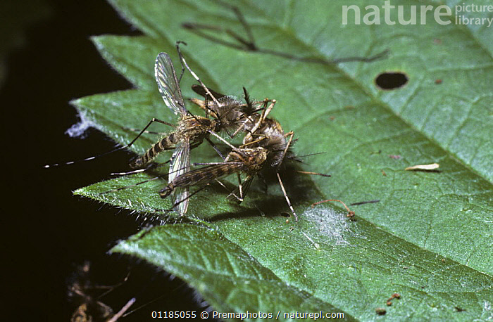 Banded mosquito (Culiseta annulata) males with feathery antennae inflated holding on to a female after failing to mate in mid air, UK  ,  COURTSHIP,CULICIDAE,DIPTERA,EUROPE,FLIES,GROUPS,INSECTS,INVERTEBRATES,MALES,MATING BEHAVIOUR,MOSQUITOES,UK,United Kingdom,Reproduction,British  ,  Premaphotos