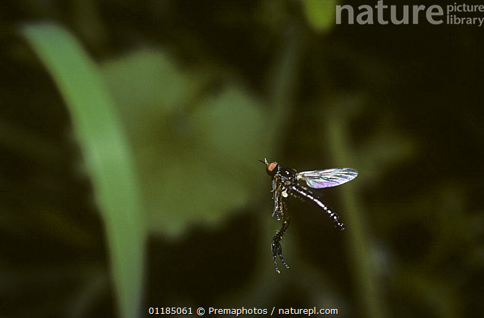 Tiny male Dance fly (Lissempis nigritarsus) flying up and down as he patrols his territory, UK  ,  BEHAVIOUR,DANCE FLIES,DIPTERA,EMPIDIDAE,EUROPE,FLYING,INSECTS,INVERTEBRATES,MALES,TERRITORIAL,UK,United Kingdom,British  ,  Premaphotos