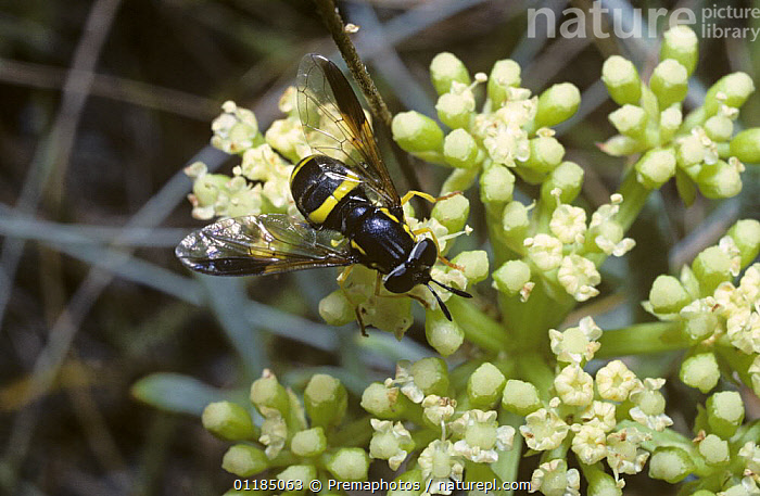 A prong-horn hover fly (Chrysotoxum bicinctum) feeding from Rock samphire flowers, UK  ,  DIPTERA,EUROPE,HOVER FLIES,INSECTS,INVERTEBRATES,SYRPHIDAE,UK,United Kingdom,British , hoverflies , hoverfly  ,  Premaphotos