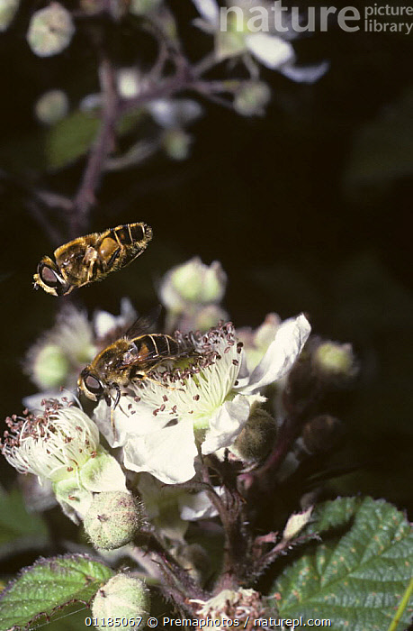 Square-spot drone fly, a hover fly (Eristalis nemorum) male emitting a shrill whine with its wings as it hovers in courtship over a female, UK  ,  BRAMBLE,DIPTERA,EUROPE,FLOWERS,FLYING,HOVER FLIES,HOVER FLY,HOVERFLIES,INSECTS,INVERTEBRATES,MALE FEMALE PAIR,MATING BEHAVIOUR,SYRPHIDAE,UK,VERTICAL,United Kingdom,Reproduction,British , hoverfly  ,  Premaphotos