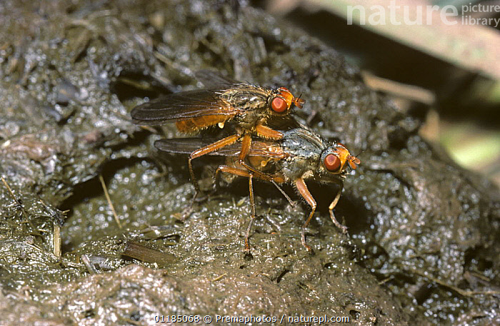 Dung fly (Scathophaga analis) mating pair on a cow-pat, UK  ,  COWPAT, DIPTERA, DUNG FLIES, EUROPE, FAECES, INSECTS, INVERTEBRATES, LIVESTOCK, male female pair, mating behaviour, Scathophagidae, UK,United Kingdom  ,  Premaphotos