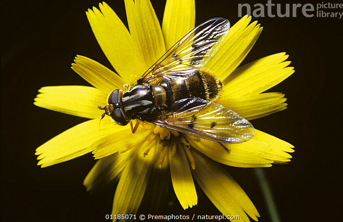 Copper glint hover fly (Ferdinandea cuprea) on flower, UK  ,  DIPTERA, EUROPE, FLOWERS, HOVER FLIES, INSECTS, INVERTEBRATES, Syrphidae, UK, YELLOW,United Kingdom  ,  Premaphotos