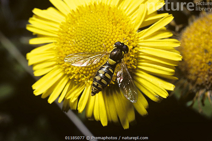 Hover fly (Sphaerophoria menthastri) female on Yellow fleabane flower (Pulicaria dysenterica), UK  ,  DIPTERA,EUROPE,FLOWERS,HOVER FLIES,INSECTS,INVERTEBRATES,SYRPHIDAE,UK,United Kingdom,British , hoverflies , hoverfly  ,  Premaphotos