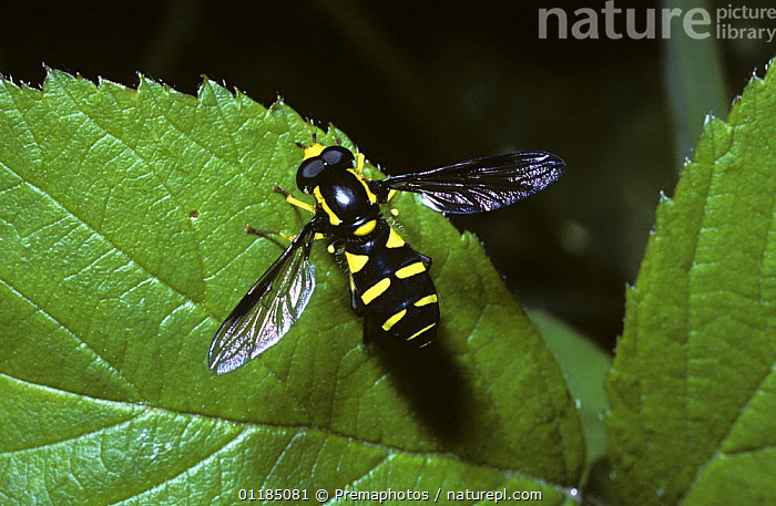 Flamboyant false icon hover fly (Xanthogramma pedissequum) UK  ,  DIPTERA,EUROPE,FLIES,HOVER FLIES,INSECTS,INVERTEBRATES,SYRPHIDAE,UK,United Kingdom,British , hoverflies , hoverfly  ,  Premaphotos