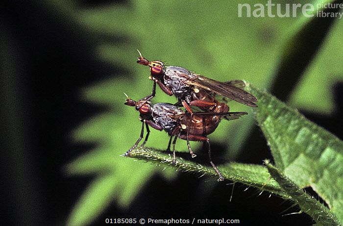 Snail fly (Elgiva cucularia), mating pair, UK  ,  DIPTERA,EUROPE,INSECTS,INVERTEBRATES,MALE FEMALE PAIR,MARSH FLIES,MATING BEHAVIOUR,SCIOMYZIDAE,UK,United Kingdom,Reproduction,British  ,  Premaphotos