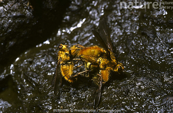 Common yellow dung fly (Scathophaga stercoraria). An intruding male trying to unseat a male that is already mating on dung, UK  ,  ARTHROPODS,DIPTERA,DOMINANCE,DUNG FLIES,EUROPE,FAECES,GROUPS,INSECTS,INVERTEBRATES,MALE FEMALE PAIR,MALES,MATING BEHAVIOUR,SCATHOPHAGIDAE,UK,United Kingdom,Reproduction,British  ,  Premaphotos