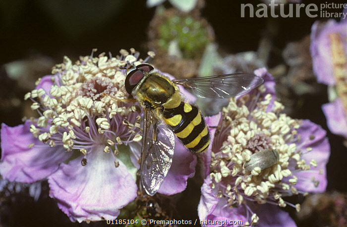 Clear-winged moustached icon hover fly (Syrphus vitripennis) on a bramble flower, UK  ,  DIPTERA,EUROPE,FLOWERS,HOVER FLIES,INSECTS,INVERTEBRATES,POLLINATION,UK,United Kingdom,British , hoverflies , hoverfly  ,  Premaphotos