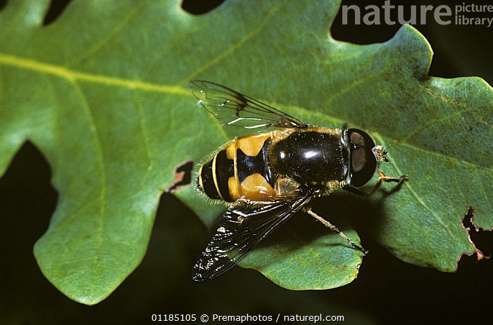 Elegant drone fly, a hover fly (Eristalis horticola) male on an Oak leaf, UK  ,  DIPTERA,EUROPE,HOVER FLIES,INSECTS,INVERTEBRATES,MALES,PORTRAITS,SYRPHIDAE,UK,United Kingdom,British , hoverflies , hoverfly  ,  Premaphotos