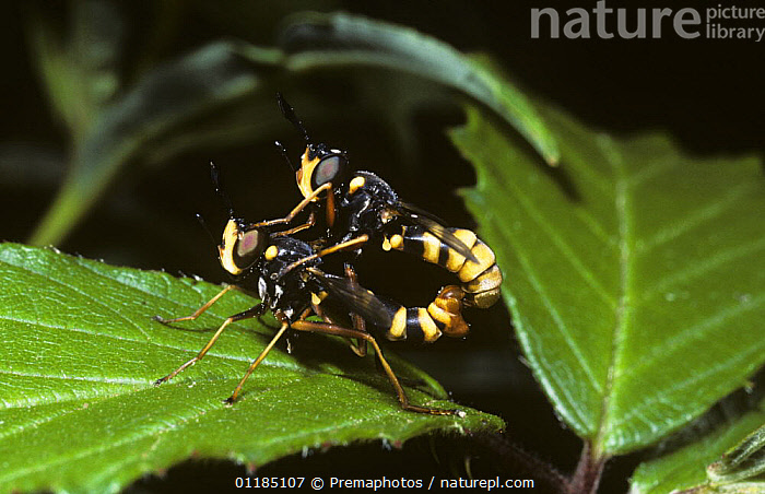 Common wasp fly, a thick-headed fly (Conops quadrifasciata) mating pair, UK  ,  DIPTERA,EUROPE,INSECTS,INVERTEBRATES,MALE FEMALE PAIR,MATING BEHAVIOUR,PROFILE,THICK HEADED FLIES,UK,United Kingdom,Reproduction,British  ,  Premaphotos