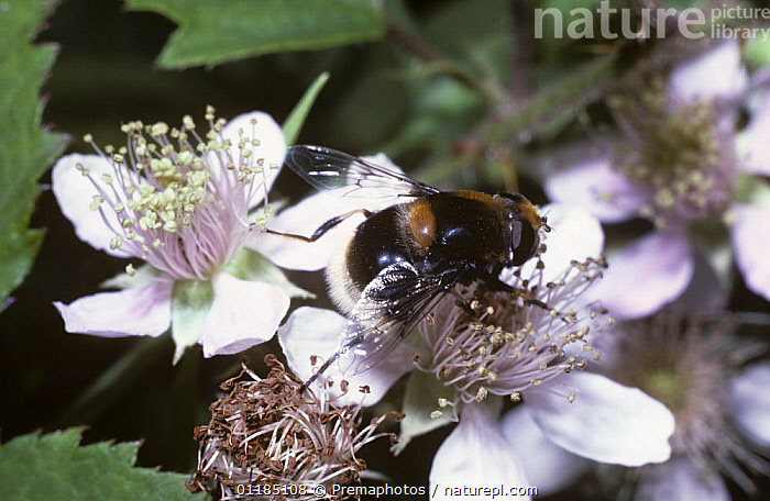 Bumble bee drone fly, a hover fly (Eristalis intricarius) on a bramble flower, UK  ,  DIPTERA, EUROPE, FLOWERS, HOVER FLIES, INSECTS, INVERTEBRATES, Syrphidae, UK,United Kingdom  ,  Premaphotos