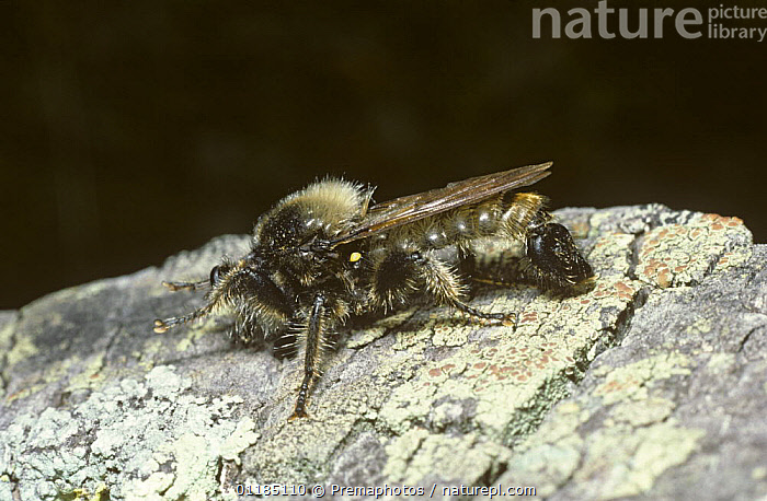 Bumble bee robber fly (Laphria flava) grooming its face with its front legs, France  ,  ASILIDAE,BEHAVIOUR,DIPTERA,EUROPE,FRANCE,INSECTS,INVERTEBRATES,ROBBER FLIES,Hymenoptera  ,  Premaphotos