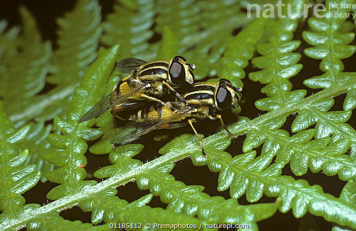 Common tiger hover fly (Helophilus pendulus), mating pair on bracken, UK  ,  DIPTERA,EUROPE,FERNS,FLIES,HOVER FLIES,INSECTS,INVERTEBRATES,MALE FEMALE PAIR,MATING BEHAVIOUR,SYRPHIDAE,UK,United Kingdom,Reproduction,Plants,British , hoverflies , hoverfly  ,  Premaphotos