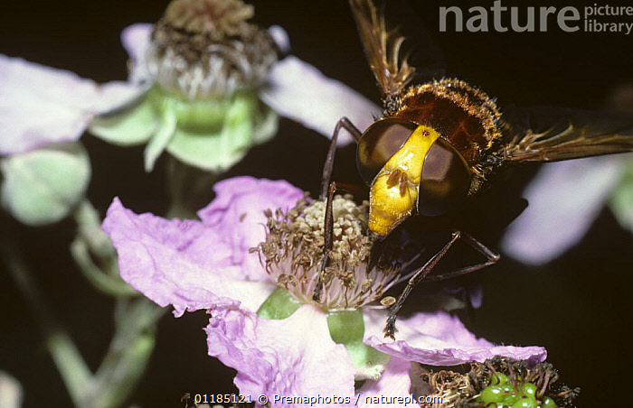 Hornet plume-horn hover fly (Volucella zonaria) feeding from a Bramble flower, UK  ,  BEHAVIOUR,DIPTERA,EUROPE,EYES,FLIES,FLOWERS,HOVER FLIES,INSECTS,INVERTEBRATES,PORTRAITS,UK,United Kingdom,British , hoverflies , hoverfly  ,  Premaphotos