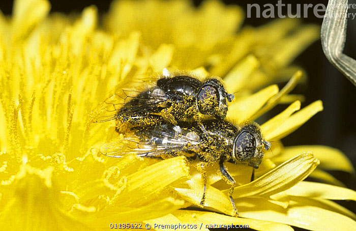 Black drone fly, a hover fly (Eristalinus sepulchralis) mating pair on a Dandelion flower, UK  ,  DIPTERA,EUROPE,FLOWERS,HOVER FLIES,INSECTS,INVERTEBRATES,MALE FEMALE PAIR,MATING BEHAVIOUR,SYRPHIDAE,UK,YELLOW,United Kingdom,Reproduction,British , hoverflies , hoverfly  ,  Premaphotos