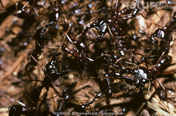 Driver / African army ant (Dorylus nigricans) soldier ants guarding a column of worker ants, Uganda  ,  ANTS,ARMY ANTS,EAST AFRICA,FORMICIDAE,GROUPS,HYMENOPTERA,INSECTS,INVERTEBRATES,PROTECTION,SOCIAL BEHAVIOUR,Africa  ,  Premaphotos