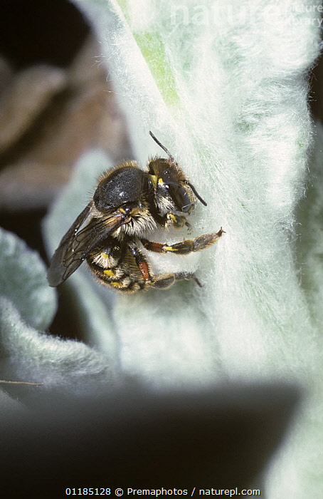 Woolcarder bee (Anthidium manicatum) female using her jaws to cut and tear away a ball of hairs from {Stachys lanata} leaf to build her nest, UK  ,  ARTHROPODS,BEES,EUROPE,FEMALES,HYMENOPTERA,INSECTS,INVERTEBRATES,LEAVES,NESTING BEHAVIOUR,UK,VERTICAL,WOOL CARDER,United Kingdom,Reproduction,British  ,  Premaphotos