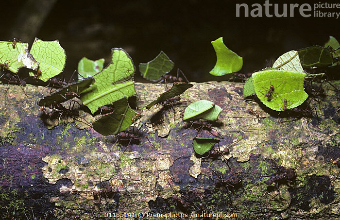 Leaf-cutting ants (Atta sexdens) returning to their nest with cut off portions of leaf for their fungus garden, in Amazonian rainforest, Brazil  ,  ANT,BRAZIL,CARRYING,HYMENOPTERA,INSECTS,INVERTEBRATES,LEAFCUTTER ANTS,SOCIAL BEHAVIOUR,SOUTH AMERICA,TROPICAL RAINFOREST  ,  Premaphotos