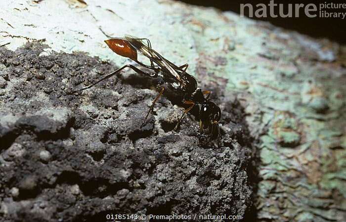 Communal sphecid wasp (Trigonopsis sp) adding a pellet of mud to the outside of its communal nest on a tree in Amazonian rainforest, Brazil  ,  BRAZIL,HUNTING WASPS,HYMENOPTERA,INSECTS,INVERTEBRATES,NESTING BEHAVIOUR,NESTS,SOUTH AMERICA,SPHECIDAE,TROPICAL RAINFOREST,Reproduction  ,  Premaphotos