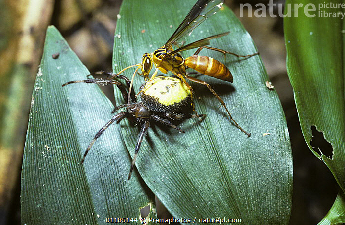 Spider-hunting wasp (Pompilidae) female hauling a paralysed Orb web spider back to her nest, in rainforest, Brazil  ,  ARACHNIDA,ARACHNIDS,ARTHROPODS,BEHAVIOUR,BRAZIL,CARRYING,HYMENOPTERA,INSECTS,INVERTEBRATES,MIXED SPECIES,PREDATION,SOUTH AMERICA,SPIDERS,SPIDER WASPS,TROPICAL RAINFOREST  ,  Premaphotos