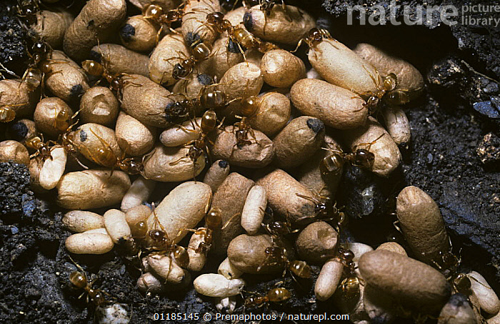 Yellow meadow ant (Lasius flavus), worker ants and pupae in their nest under a stone, UK  ,  ANTS,ARTHROPODS,CHRYSALIS,EUROPE,GROUPS,HYMENOPTERA,INSECTS,INVERTEBRATES,NESTS,UK,United Kingdom,British  ,  Premaphotos