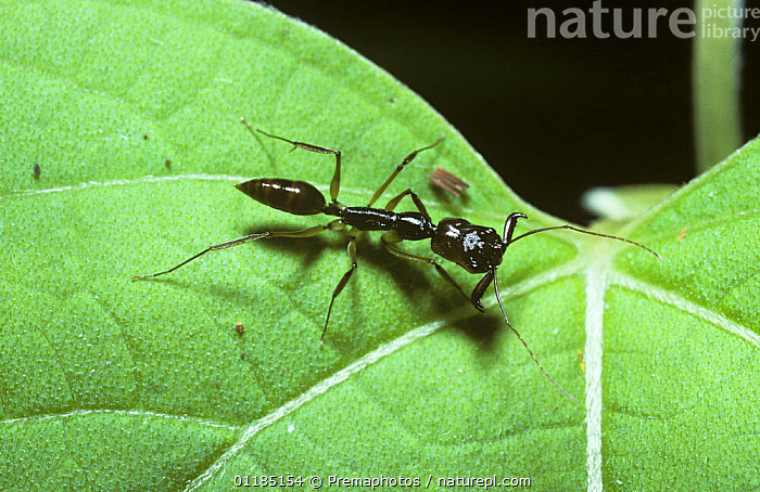 Ant (Odontomachus sp.) in rainforest, Thailand  ,  ANTS,ASIA,HYMENOPTERA,INSECTS,INVERTEBRATES,PORTRAITS,THAILAND,TROPICAL RAINFOREST  ,  Premaphotos