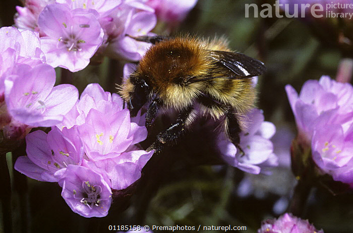 Brown-banded carder bumble bee (Bombus humilis) overwintered queen foraging on thrift, UK  ,  Apidae,BUMBLEBEES,EUROPE,FEEDING,FEMALES,FLOWERS,HYMENOPTERA,INSECTS,INVERTEBRATES,POLLINATION,UK,United Kingdom,British,,Dispersal,  ,  Premaphotos