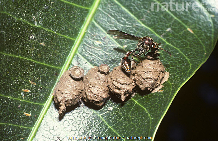 Female potter wasp (Vespidae) adding mud to seal of one of her mud pots on a leaf in rainforest, Mexico  ,  ARTHROPODS,BEHAVIOUR,central america,FEMALES,HYMENOPTERA,INSECTS,INVERTEBRATES,making,MEXICO,NESTS,paper wasp,tropical rainforest  ,  Premaphotos