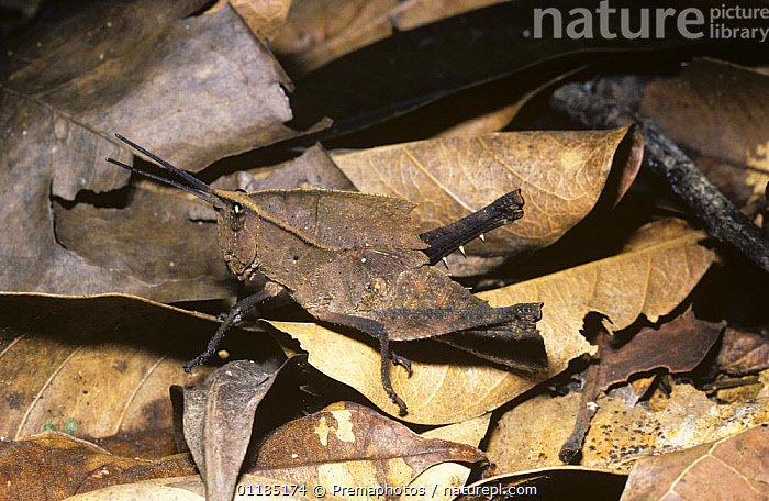 Grasshopper (Colpolopha burmeisteri) nymph mimicking a dead leaf on the rainforest floor, Peru  ,  CAMOUFLAGE,INSECTS,INVERTEBRATES,LEAF LITTER,LEAVES,ORTHOPTERA,PERU,ROMALAEINAE,SHORT HORNED GRASSHOPPERS,SOUTH AMERICA,TROPICAL RAINFOREST  ,  Premaphotos