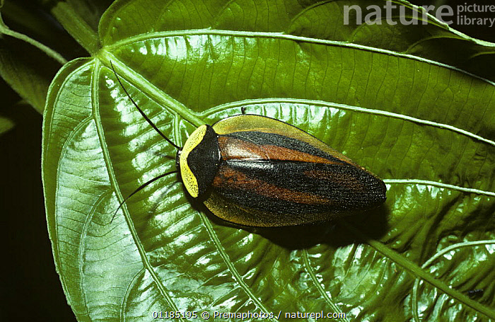 Cockroach (Paratropes lycoides), which from a distance resembles a fallen seed pod but close-up has warning coloration somewhat like a distasteful lycid beetle, in rainforest, Peru  ,  COCKROACHES,INSECTA,INVERTEBRATES,MIMICRY,PERU,SOUTH AMERIC,TROPICAL RAINFOREST,WARNING COLOURATION,Blattodea  ,  Premaphotos