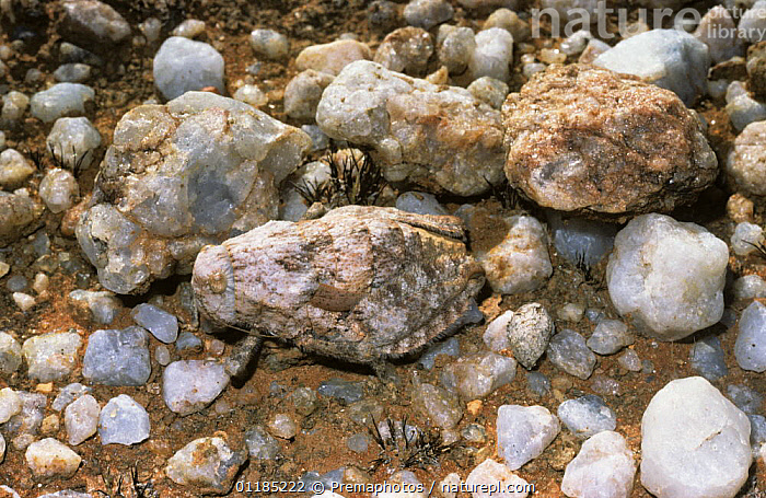 Toad grasshopper (Trachypetrella anderssonii) which resembles the quartzite pebbles amongst which it lives in desert, South Africa  ,  CAMOUFLAGE, DESERTS, GRASSHOPPERS, INSECTS, INVERTEBRATES, ORTHOPTERA, PAMPHAGIDAE, southern africa,Anura,Toads  ,  Premaphotos