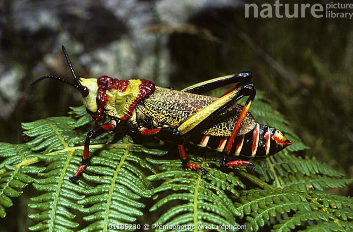 Grasshopper (Dictyophorus spumans f olivaceus), a warningly coloured species, which produces an obnoxious defensive foam when attacked. South Africa  ,  COLOURFUL,GRASSHOPPERS,INSECTS,INVERTEBRATES,ORTHOPTERA,PORTRAITS,PROFILE,SOUTHERN AFRICA,WARNING COLOURATION  ,  Premaphotos