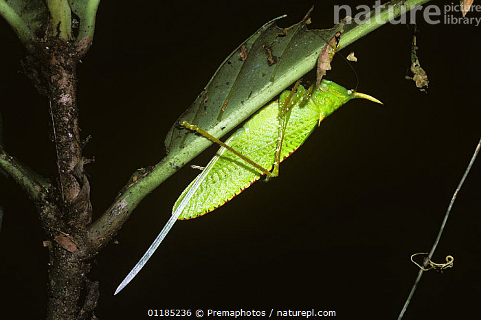 Cone-headed katydid (Copiphora rhinoceros) female showing her very long ovipositor in rainforest, Costa Rica  ,  BUSH CRICKETS,CENTRAL AMERICA,COSTA RICA,FEMALES,INSECTS,INVERTEBRATES,KATYDIDS,LONG HORNED GRASSHOPPERS,ORTHOPTERA,TETTIGONIIDAE,TROPICAL RAINFOREST  ,  Premaphotos