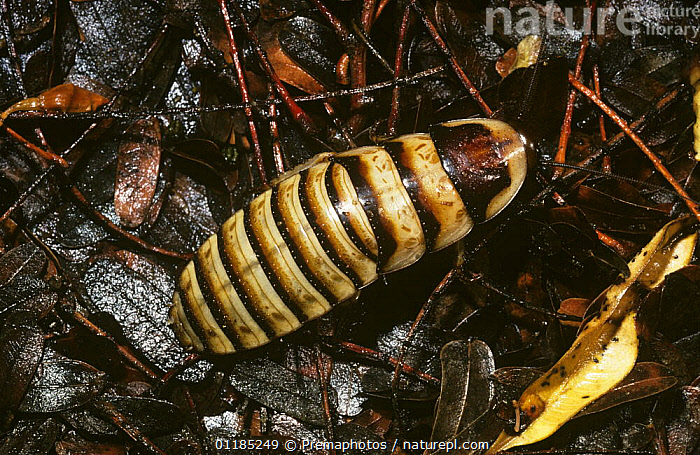 Hissing cockroach (Elliptorhina javanica) at night in tropical dry forest, Madagascar  ,  ARTHROPODS,BLATTODEA,COCKROACHES,INSECTS,INVERTEBRATES,MADAGASCAR,PORTRAITS  ,  Premaphotos