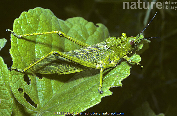Grasshopper (Phymateus sp) in savannah, Kenya  ,  ACRIDIDAE,CAMOUFLAGE,EAST AFRICA,GRASSHOPPERS,GREEN,INSECTS,INVERTEBRATES,LOCUST,ORTHOPTERA,SHORT HORNED GRASSHOPPER,Africa  ,  Premaphotos