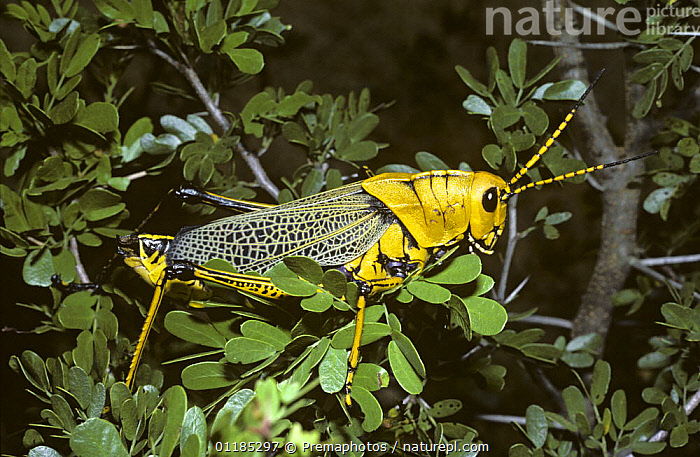 Horse lubber grasshopper (Taeniopoda eques), which flashes warningly coloured red wings when disturbed, in desert, Mexico  ,  CENTRAL AMERICA,GRASSHOPPERS,INSECTS,INVERTEBRATES,MEXICO,ORTHOPTERA,PORTRAITS,YELLOW,Equines  ,  Premaphotos