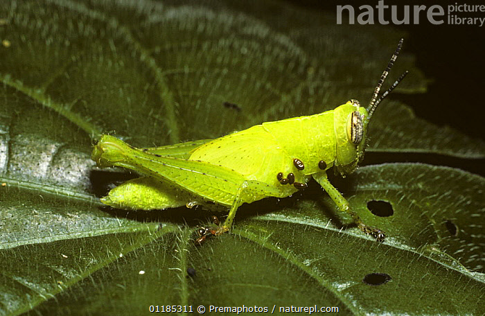 Grasshopper nymph (Schistocerca sp) carrying mites, in rainforest, Trinidad  ,  ACARI,CARIBBEAN,INVERTEBRATES,LOCUSTS,MITE,ORTHOPTERA,PARASITES,SHORT HORNED GRASSHOPPERS,TROPICAL RAINFOREST,West Indies  ,  Premaphotos