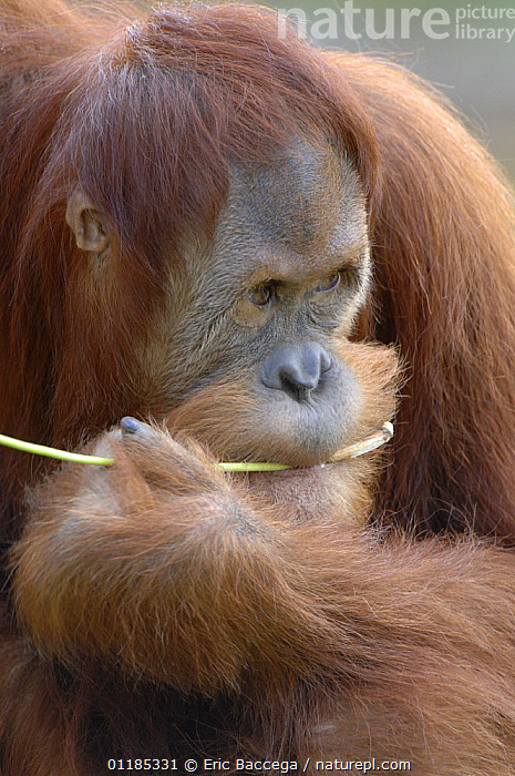 Young male orang utan (Pongo pygmaeus) aged 9 years, chewing branch. Captive, IUCN red list of endangered species  ,  BEHAVIOUR,ENDANGERED,GREAT APES,MALES,MAMMALS,ORANGUTAN,PORTRAITS,PRIMATES,VERTICAL  ,  Eric Baccega