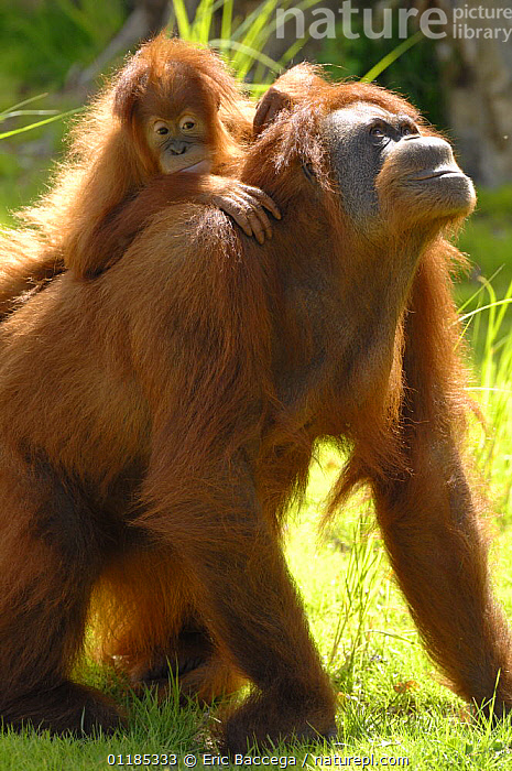 Orang utan (Pongo pygmaeus) female with her baby on her back. Captive, IUCN red list of endangered species  ,  BABIES,BEHAVIOUR,CUTE,ENDANGERED,FAMILIES,GREAT APES,HUMOROUS,MAMMALS,MOTHER BABY,ORANGUTAN,PARENTAL,PRIMATES,TWO,VERTICAL,Concepts  ,  Eric Baccega